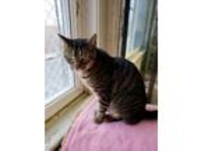 Adopt Jack a Domestic Short Hair