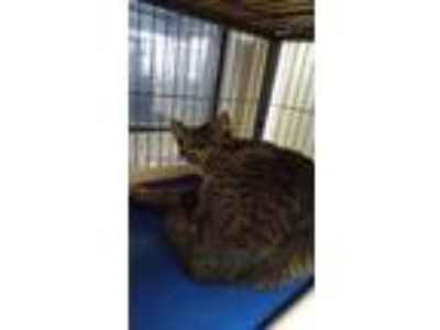 Adopt H42 a Gray or Blue Domestic Shorthair / Domestic Shorthair / Mixed cat in