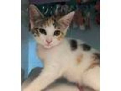Adopt Sansa a White (Mostly) Domestic Shorthair / Mixed (short coat) cat in