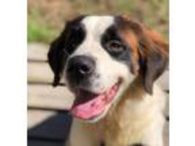 Adopt Callie # 1332 a White - with Brown or Chocolate St.