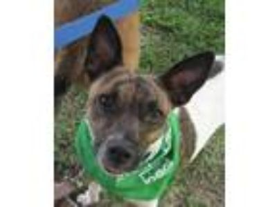 Adopt Georgia a Brindle - with White Rat Terrier / Mixed dog in Cross Roads