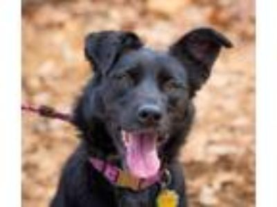 Adopt Excelsis Walton a Border Collie, Shepherd
