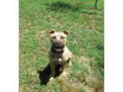 Adopt Soni a Tan/Yellow/Fawn Pit Bull Terrier / Mixed dog in Henderson