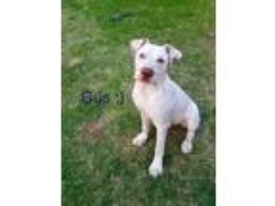 Adopt Gus a White - with Tan, Yellow or Fawn Great Dane / Mixed dog in Gilbert
