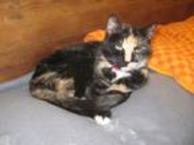 Adopt Sweetie a Calico or Dilute Calico Domestic Shorthair (short coat) cat in