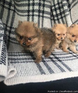 Outstanding Pomeranian puppy for new home