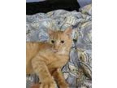 Adopt Richard a American Shorthair / Mixed (short coat) cat in Coshocton