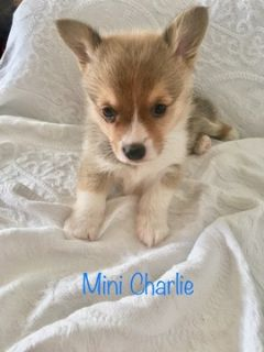 Mini Corgi Puppies For Sale >> Puppy Animals And Pets Classifieds In Skiatook Ok Claz Org