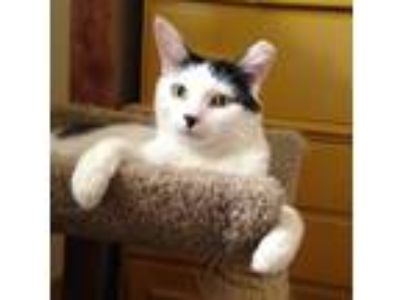 Adopt Pinto a Black & White or Tuxedo Domestic Shorthair (short coat) cat in