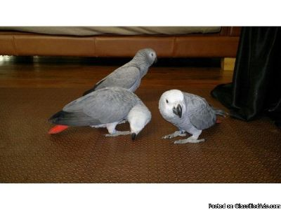 Super Tame Congobreed African Grey Baby