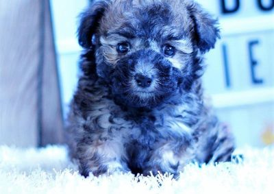 Pepper the Shihpoo ($1,300)