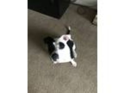 Adopt Fred a White - with Black Alaskan Malamute / Terrier (Unknown Type