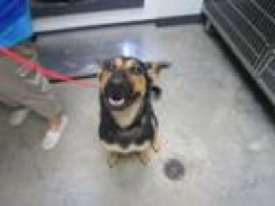 Adopt Tennessee (see memo) a German Shepherd Dog, Mixed Breed