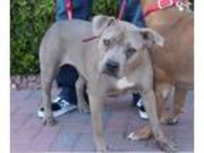 Adopt SWEET PEA (CAT FRIENDLY) a Pit Bull Terrier, Cane Corso