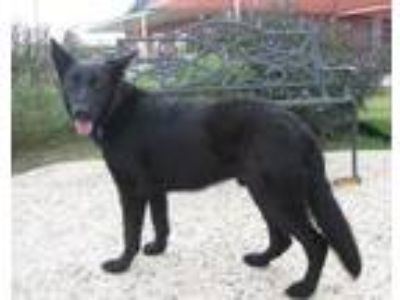 Adopt CLAUS / HOLLY a German Shepherd Dog