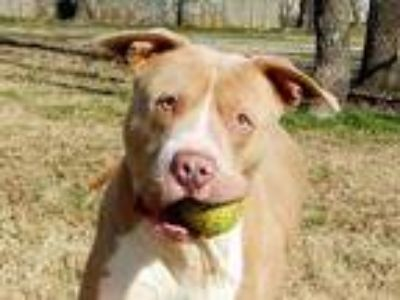 Adopt Ace a Tan/Yellow/Fawn American Staffordshire Terrier / Mixed dog in