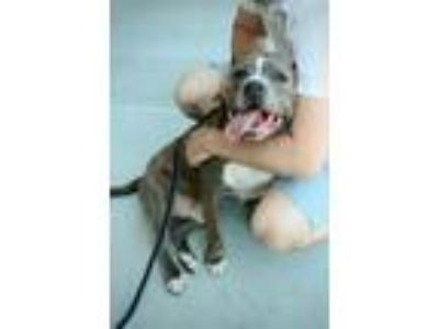 Adopt Kingsley a Pit Bull Terrier