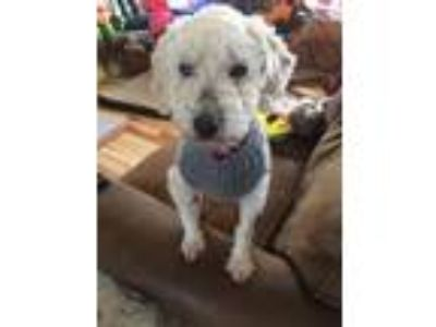Adopt Lilly a Poodle