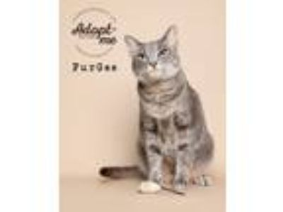 Adopt Fur Gee a Gray, Blue or Silver Tabby Domestic Shorthair (short coat) cat