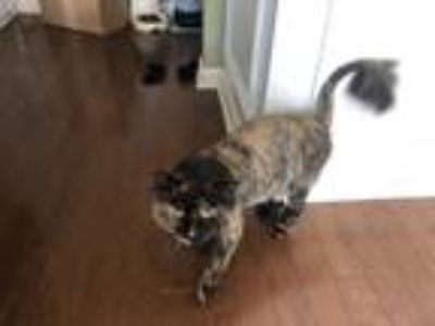 Adopt Lulu a Calico or Dilute Calico Calico / Mixed cat in Summerville