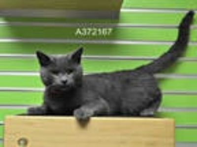 Adopt JEFFREY a Gray or Blue Domestic Shorthair / Mixed (short coat) cat in St.