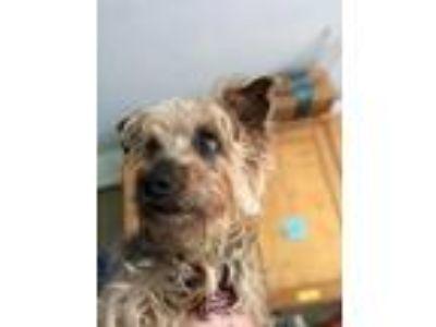 Adopt Dazz a Yorkshire Terrier, Schnauzer