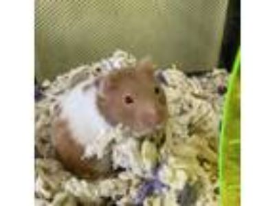 Adopt Luna a White Hamster / Mixed small animal in Largo, FL (25328879)