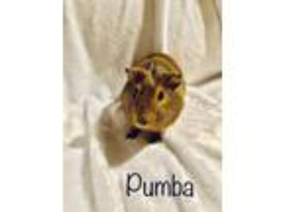 Adopt Pumba a Brown or Chocolate Guinea Pig (short coat) small animal in Aurora