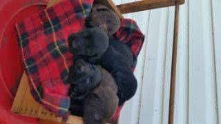 Labrador Retriever PUPPY FOR SALE ADN-65469 - AKC Registered Lab puppies for sale