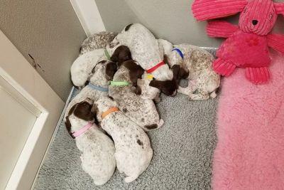 German Shorthaired Pointer Puppies