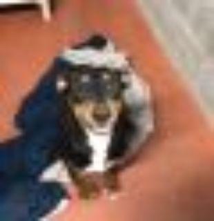 Bindy Doberman Pinscher Dog