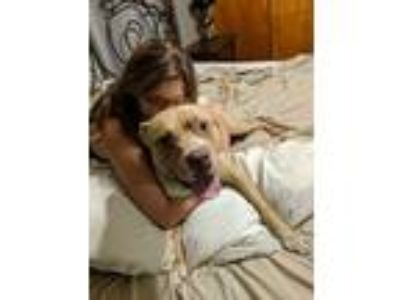Adopt Baxter a Tan/Yellow/Fawn - with White American Pit Bull Terrier / Boxer /