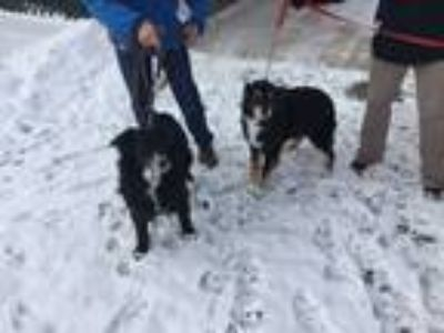 Adopt Tess a Black - with White Australian Shepherd / Border Collie / Mixed dog