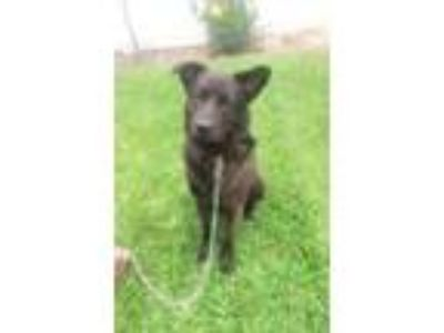 Adopt Tank a Black Shepherd (Unknown Type) / Labrador Retriever / Mixed dog in
