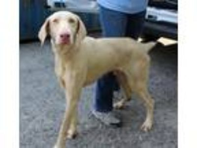 Adopt Wallace a Tan/Yellow/Fawn Weimaraner / Mixed dog in Elmsford