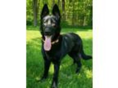 Adopt Ginger - available 5/19 a German Shepherd Dog, Shepherd