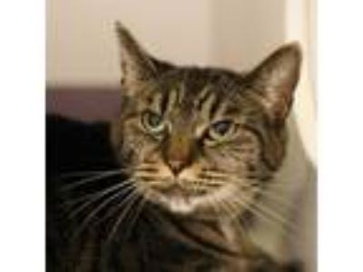 Adopt Samantha a Domestic Shorthair / Mixed (short coat) cat in Troutdale