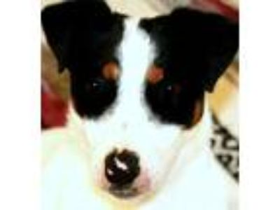 Adopt WISHBONE(PB JRT-ADORABLE!! a White - with Black Jack Russell Terrier /