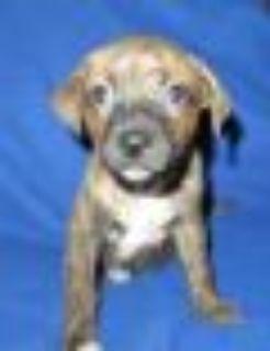 Carmel Australian Cattle Dog / Blue Heeler - Labrador Retriever Dog