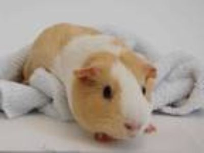 Adopt ECLIPSE a Buff Guinea Pig / Mixed small animal in St. Louis, MO (25932118)