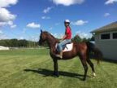 English Bred Mare For Sale