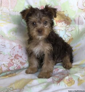 akc yorkie puppies!! Chocolate and gold