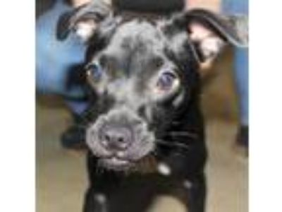 Adopt Bugsy a Black Miniature Pinscher / Pug / Mixed dog in Spartanburg