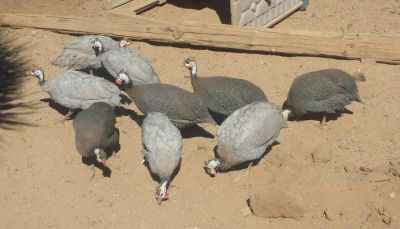 Small flock of Guinea fowl
