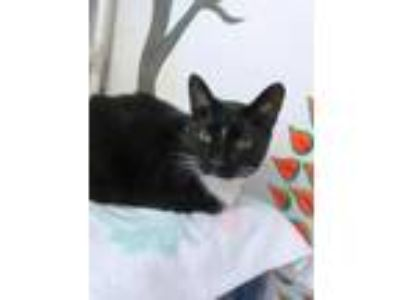 Adopt Boo Radley a Domestic Short Hair
