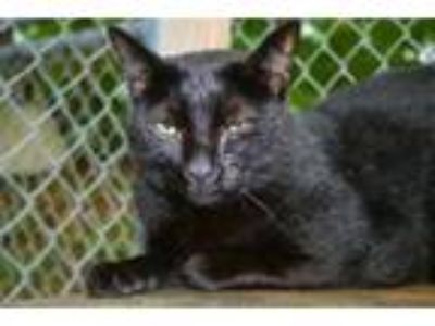 Adopt Michaelangelo a Domestic Short Hair