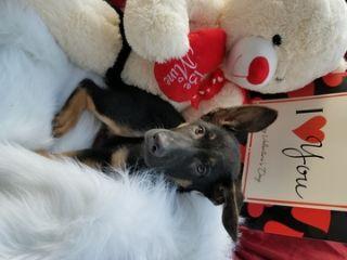 German Shepherd Dog PUPPY FOR SALE ADN-64488 - Purebred Male German Shepherd puppy ready now