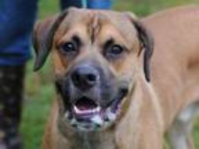 Adopt George a Boxer