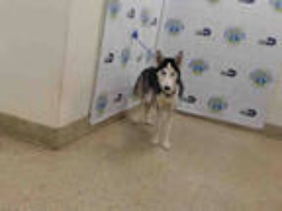 Adopt RAMBO a White - with Gray or Silver Husky / Mixed dog in Doral