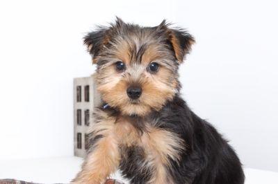 Yorkshire Terrier PUPPY FOR SALE ADN-99501 - Cruz Cool Male ACA Yorkie Puppy